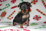 Playful Miniature Pinscher puppies for sale