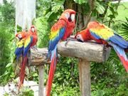 macaws Parrots species