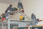 Talking And Friendly Congo African Grey Baby Girl Available For Good