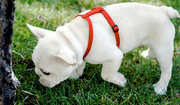 akc registered french bulldog puppies for a home