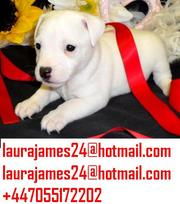 Health Excellent Jack Russells Puppies Are Now