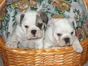 English Bulldog FOR FREE ADOPTION