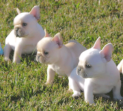 cute and firendly brothers french bulldog puppies for adoption