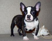 outstanding French Bulldog Puppy ready to go