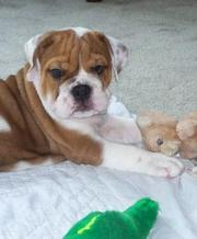 Champion Pure Breed Female English bull puppy for sale