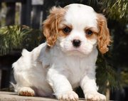 Optigen Clear Blenheim Cavalier King  Charles Spaniel Puppies